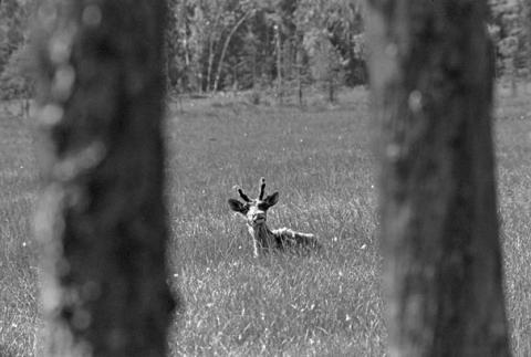 Suolla seisova metsäpeura tuijottaa valokuvaajaa kohti