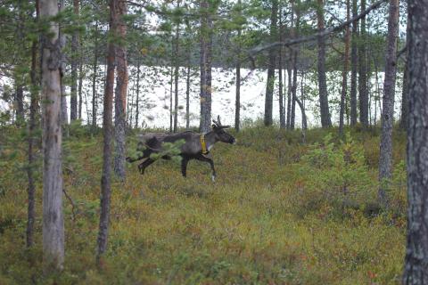 GPS-pannoitettu metsäpeuravaadin kävelee järvenrantametsikössä