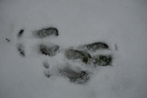 Metsäpeuran sorkanjäljet lumihangessa