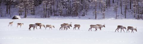 Yksitoista metsäpeuraa ja poro kävelevät lumisella järvenjäällä