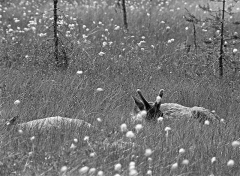 Kaksi metsäpeuraa makaa tupasvillaa kasvavalla suolla