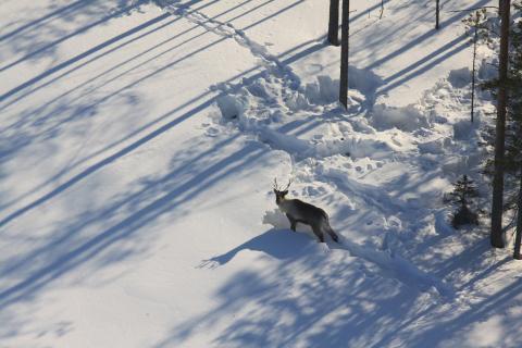 Metsäpeura seisoo lumihangessa jossa on kaivuukuoppia