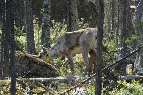 Keltapantainen metsäpeuravaadin, jota vasa on imemässä