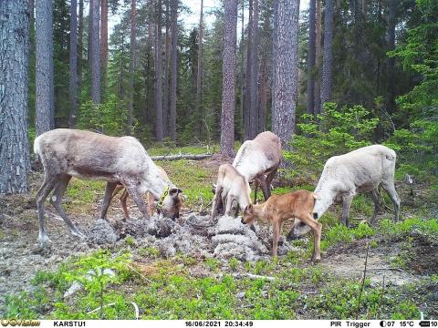 Kolme metsäpeuravaadinta ja kolme vasaa syömässä jäkälää