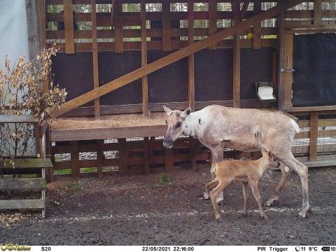 Metsäpeuravaadin ja pieni metsäpeuranvasa seisovat ruokintakaukalon edessä.