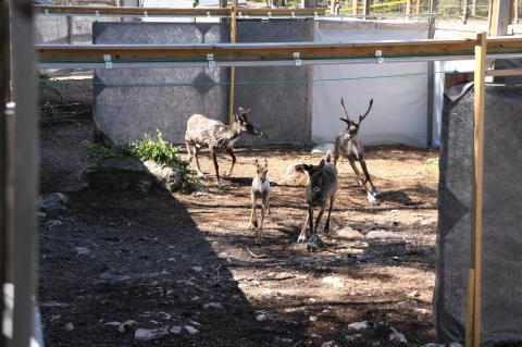 Neljä metsäpeuraa juoksee aitauksessa kohti avointa porttia